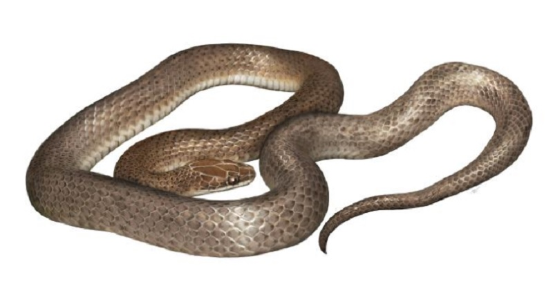 "An artist's rendering of the new species, Cenaspis aenigma, which translates to ""mysterious dinner snake."" ILLUSTRATION BY GABRIEL UGUETO"